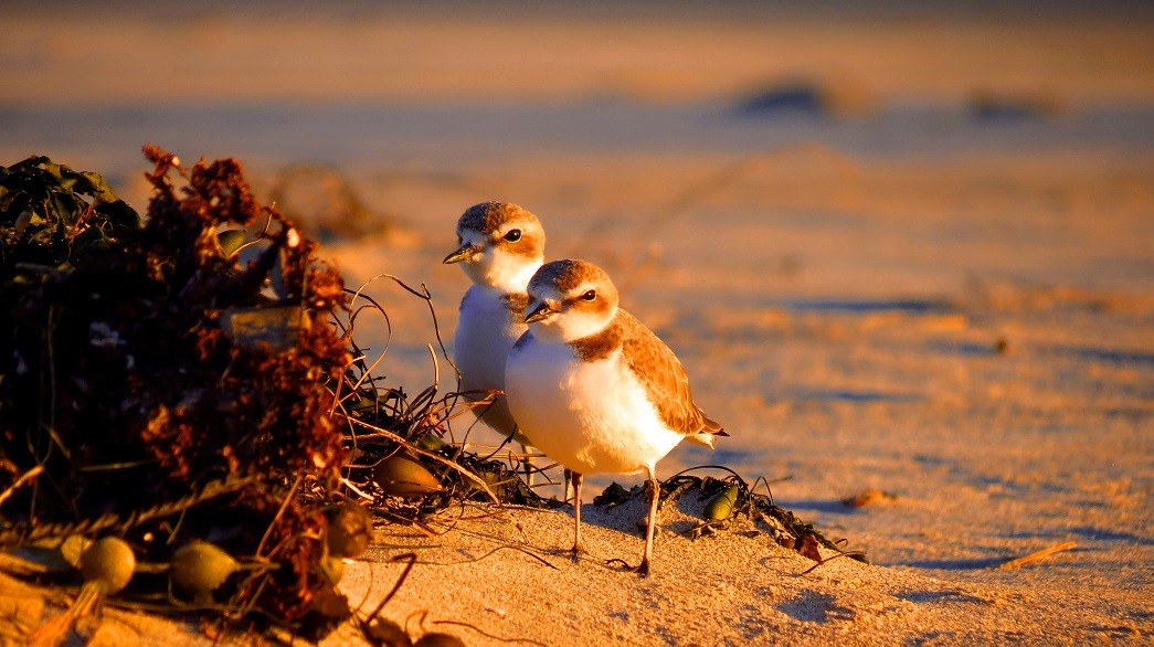 Snowy Plovers sitting in the dunes at Malibu Lagoon State Park