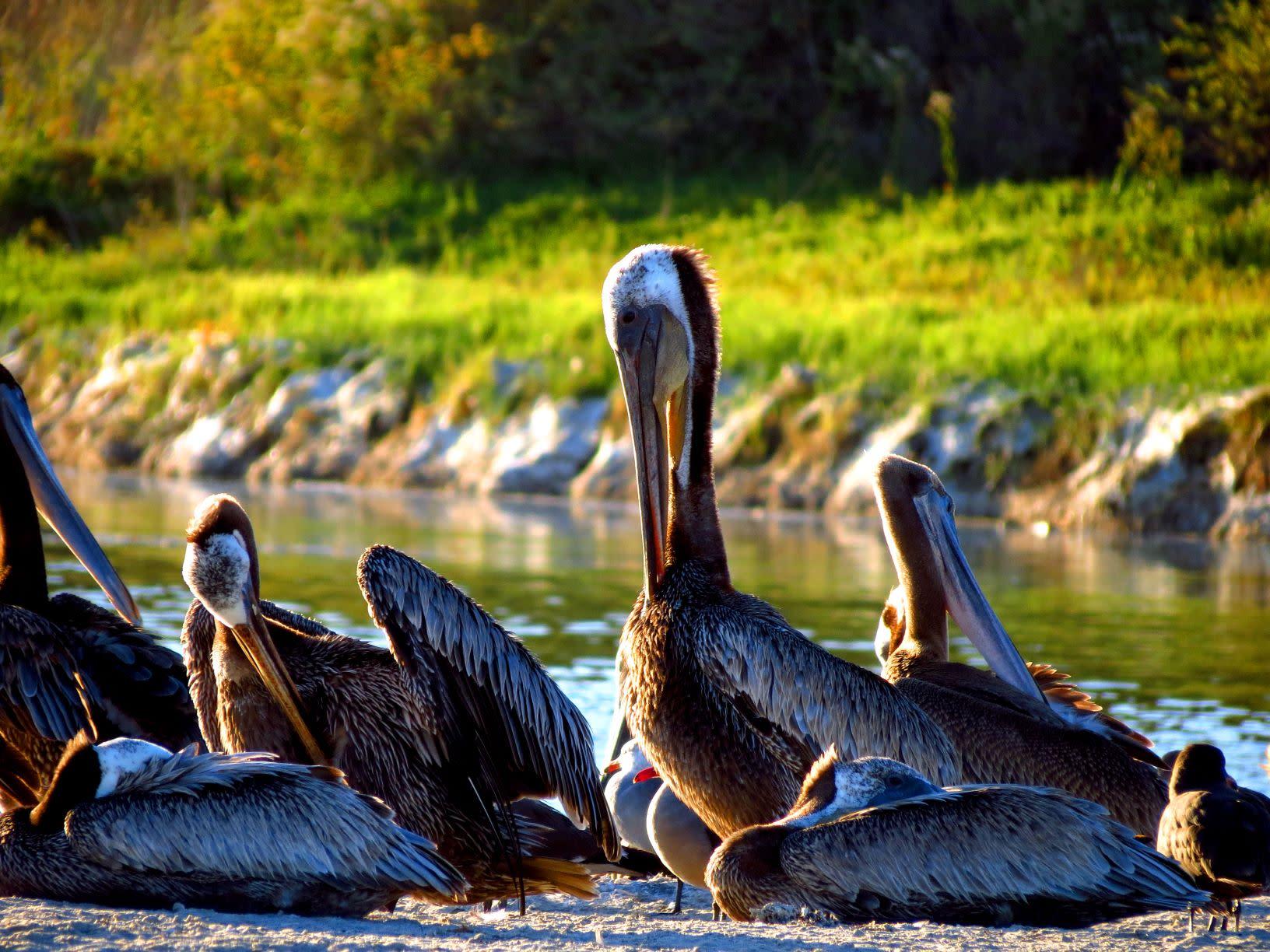 Brown Pelicans at Malibu Lagoon
