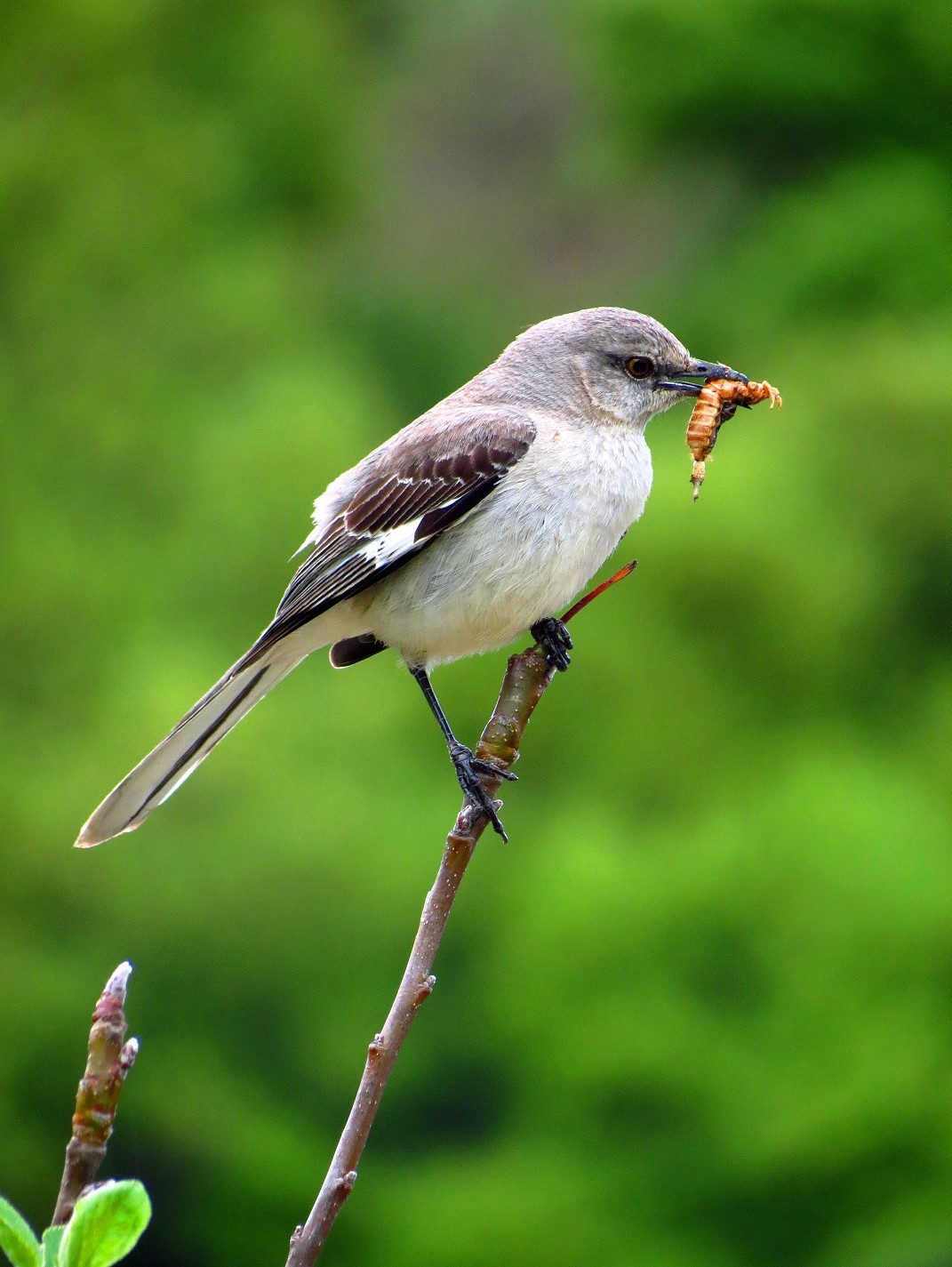Mockingbird with food for its hatchlings