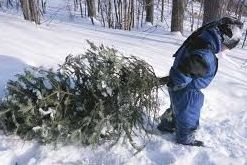 Child dragging Christmas Tree in the Snow
