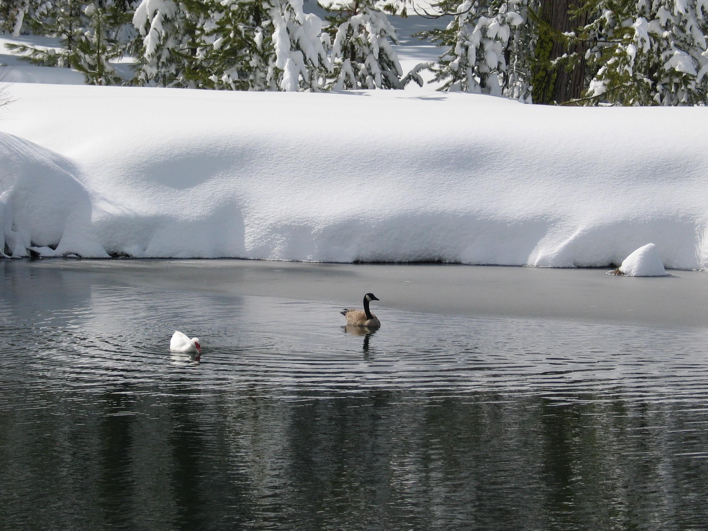 ducks on the pond at St. Bernard Lodge