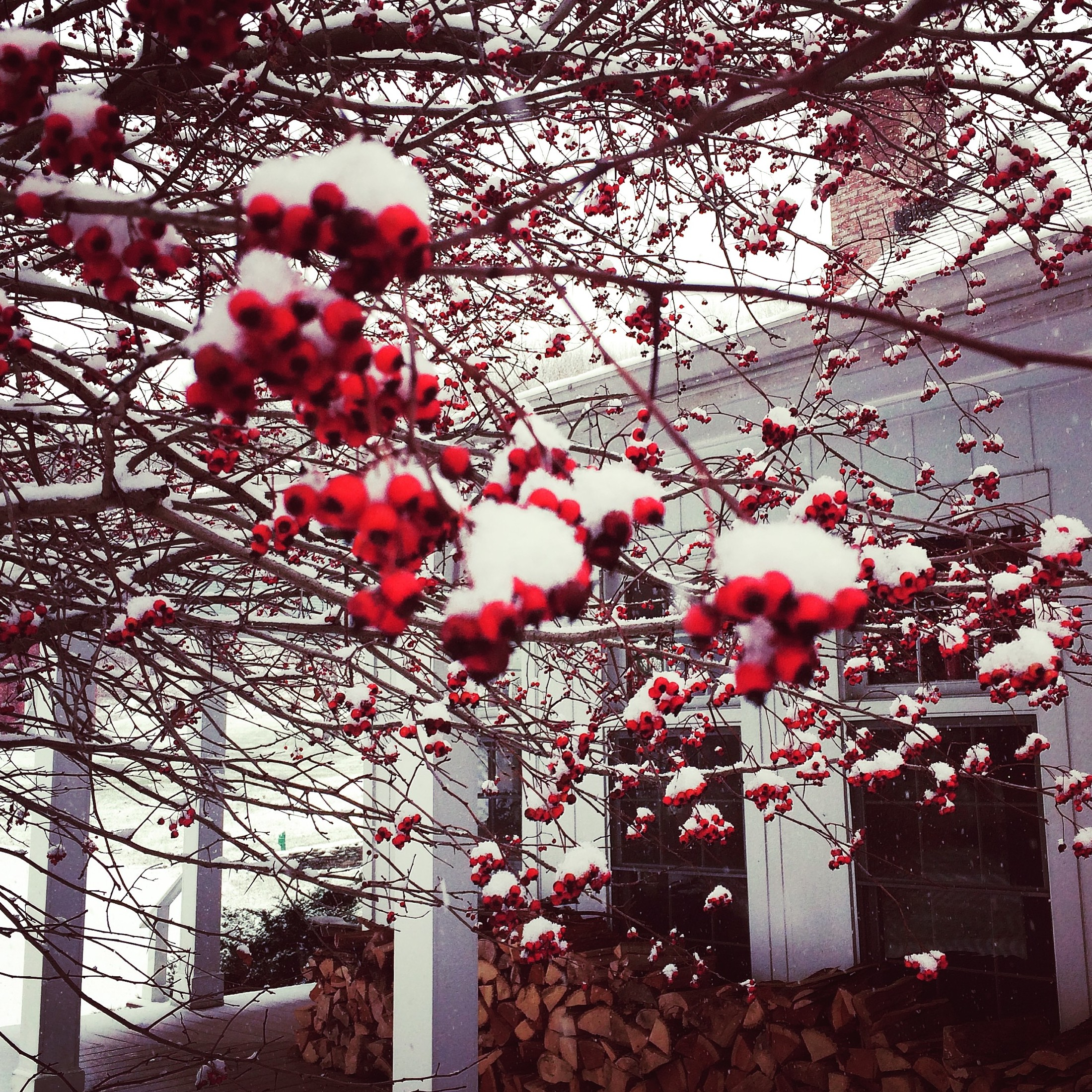 Photo of the hawthorn tree in front of the porch of the Inn.  The hawthorne has red berries and everything is covered in a layer of white snow.