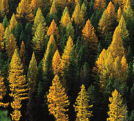 Western larch in the fall