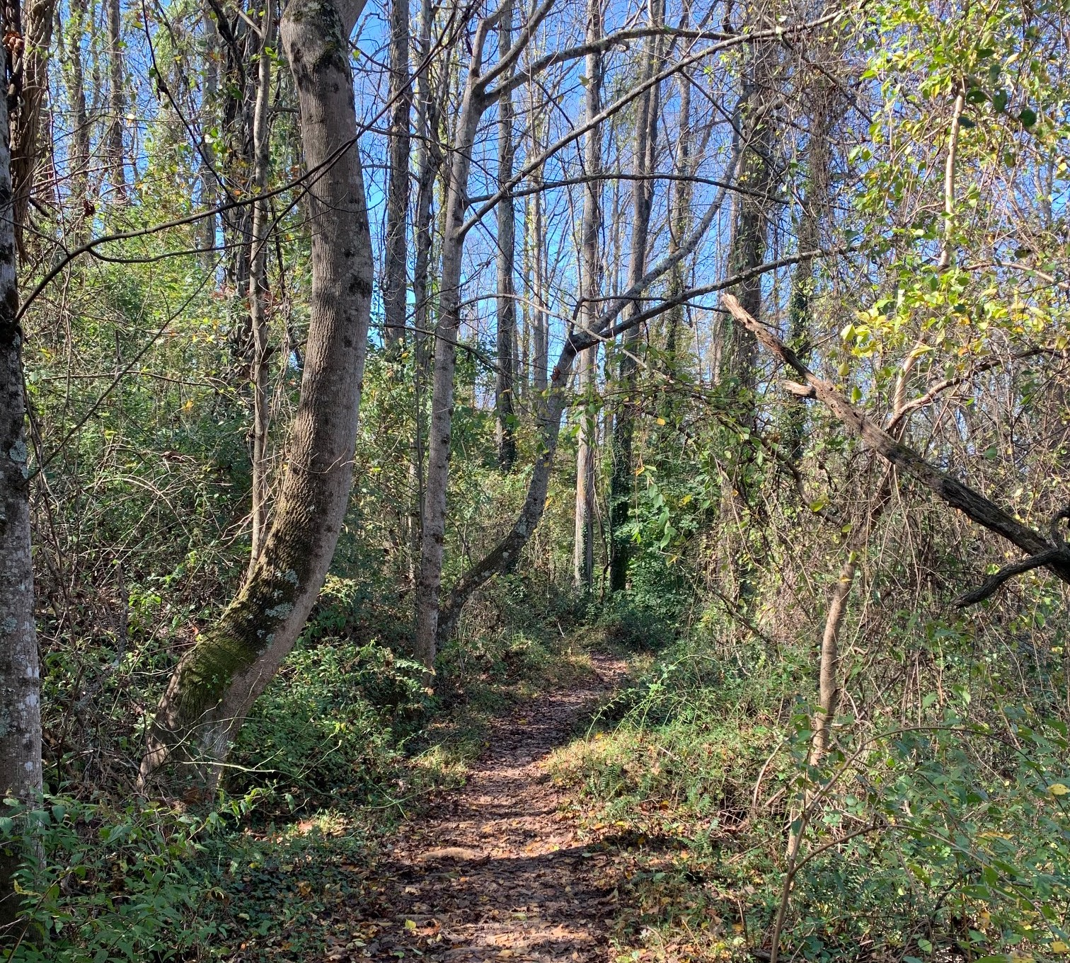 Path in the woods on Lookout Mountain Loop Trail in Asheville