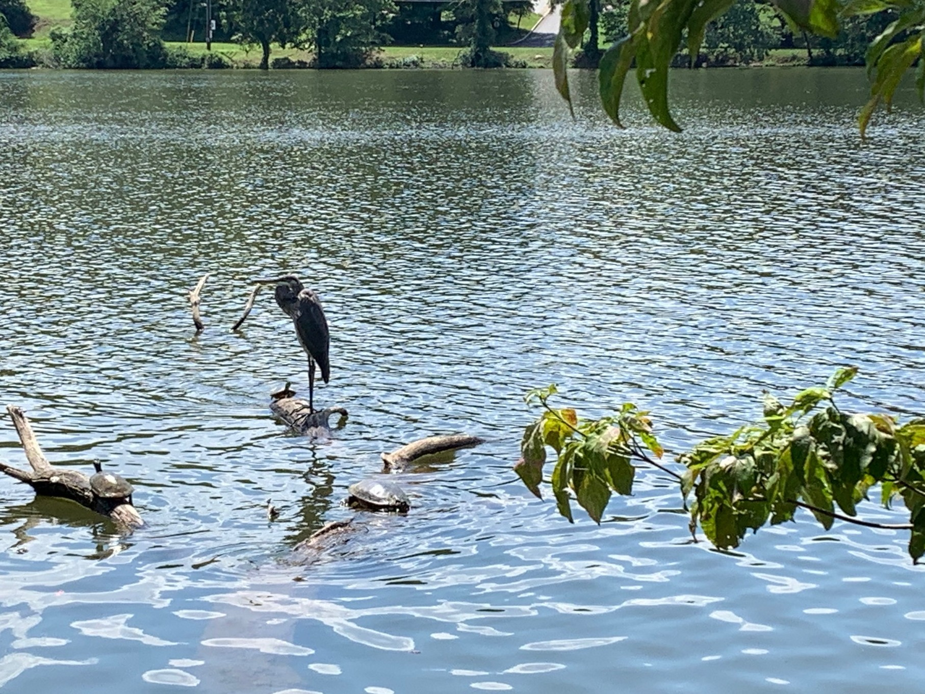 heron on the water at Beaver Lake