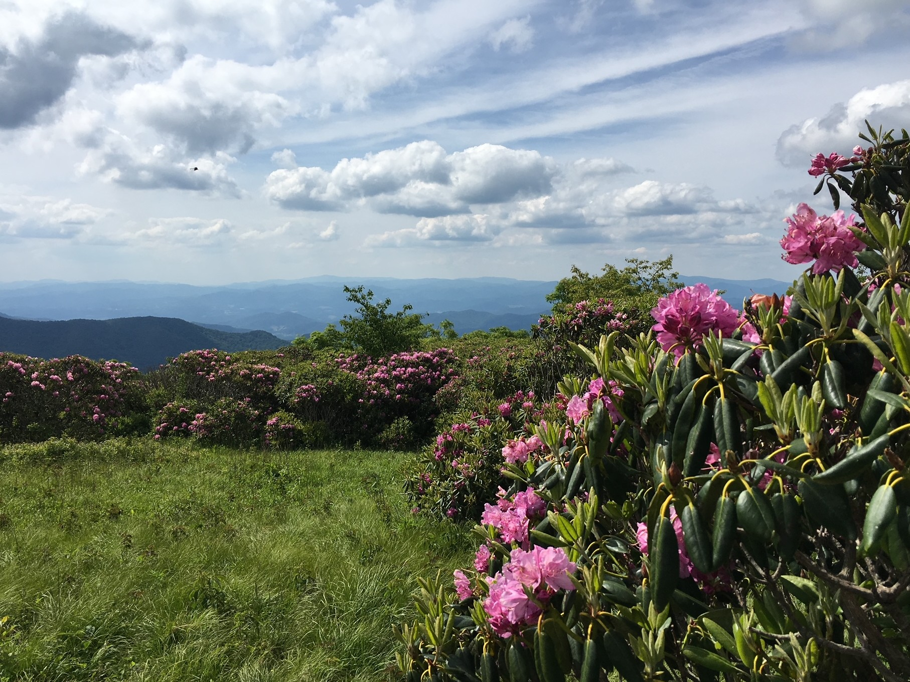 Flowers in Bloom at Craggy Gardens
