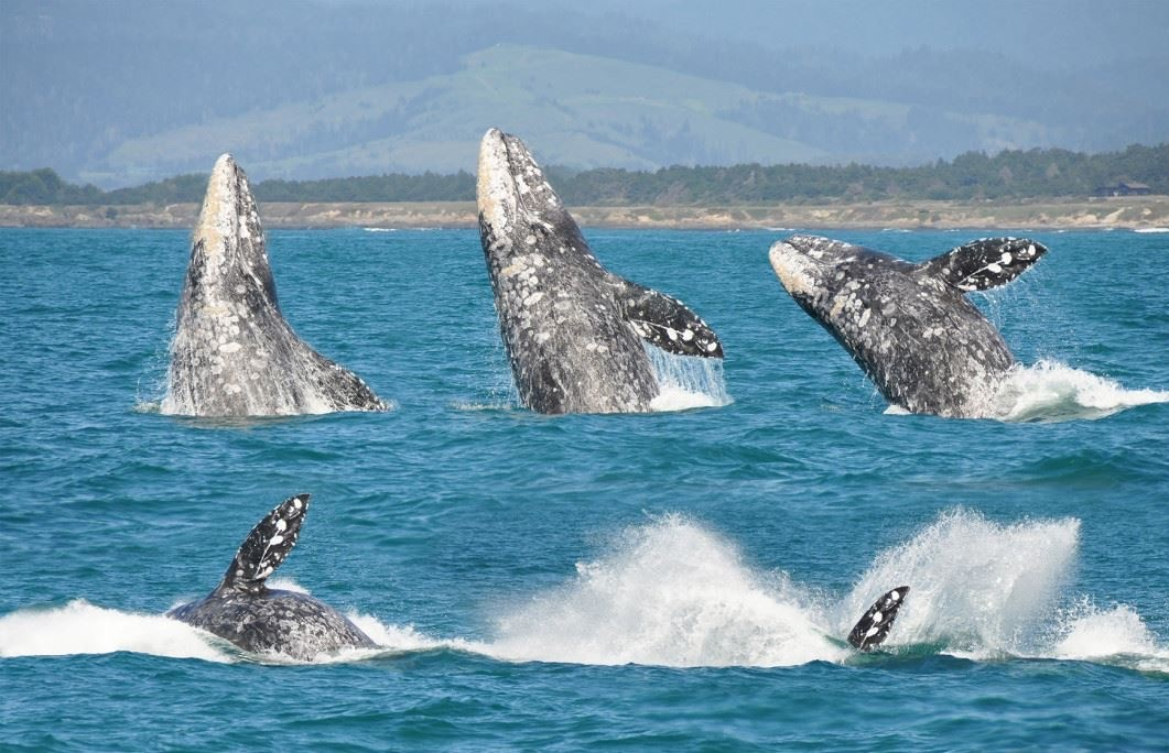 Whale watching in Mendocino County