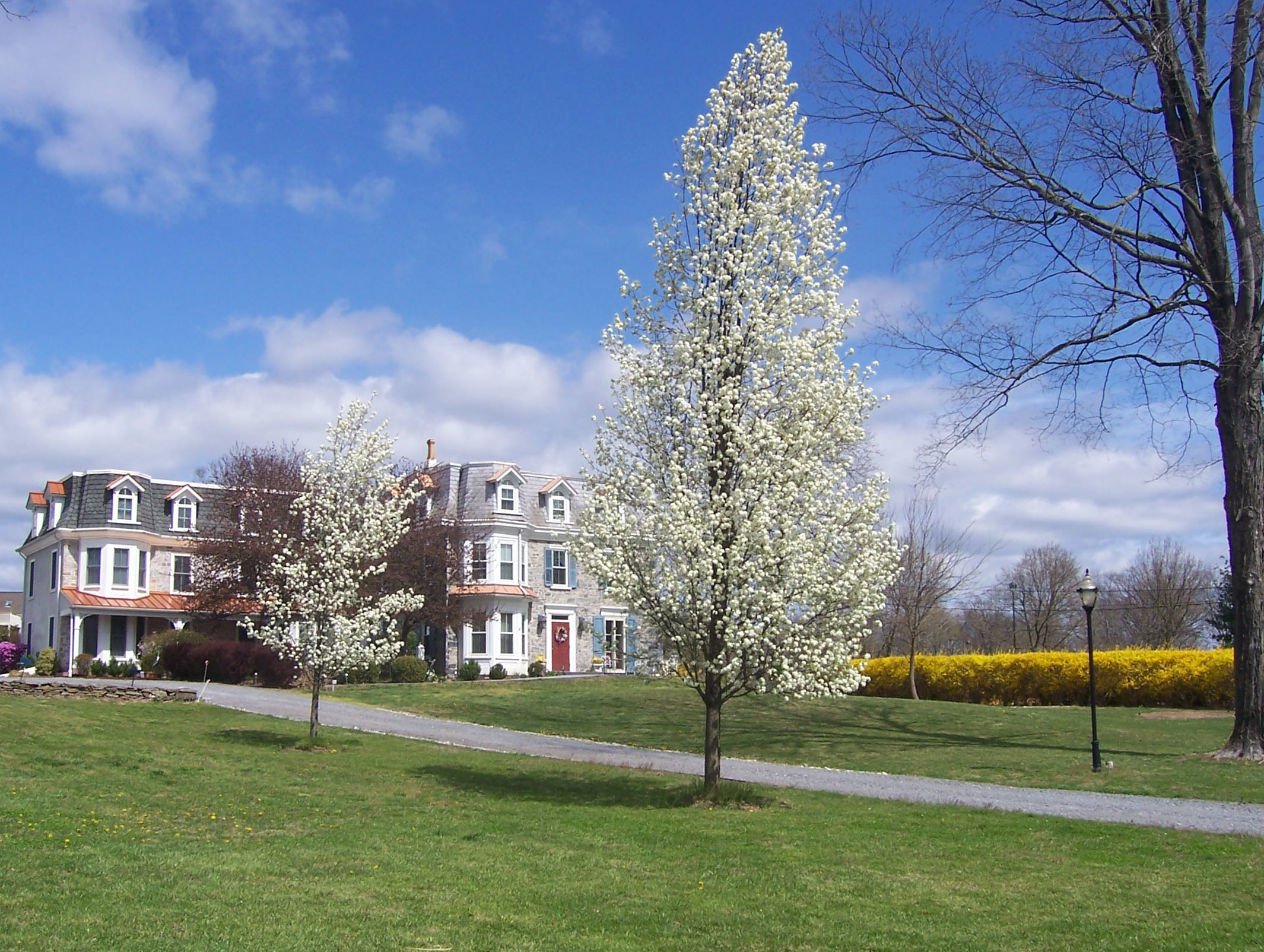 blue skies over historic manor home with large lawn and trees blooming white flowers