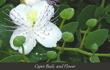 Caper buds and flower3