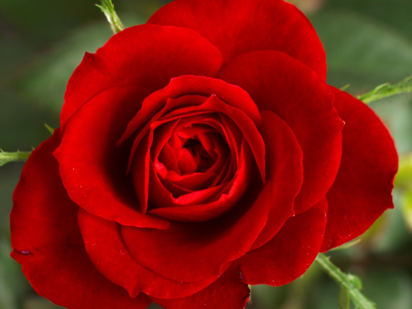 Red rose in bloom on create-your-own package menu