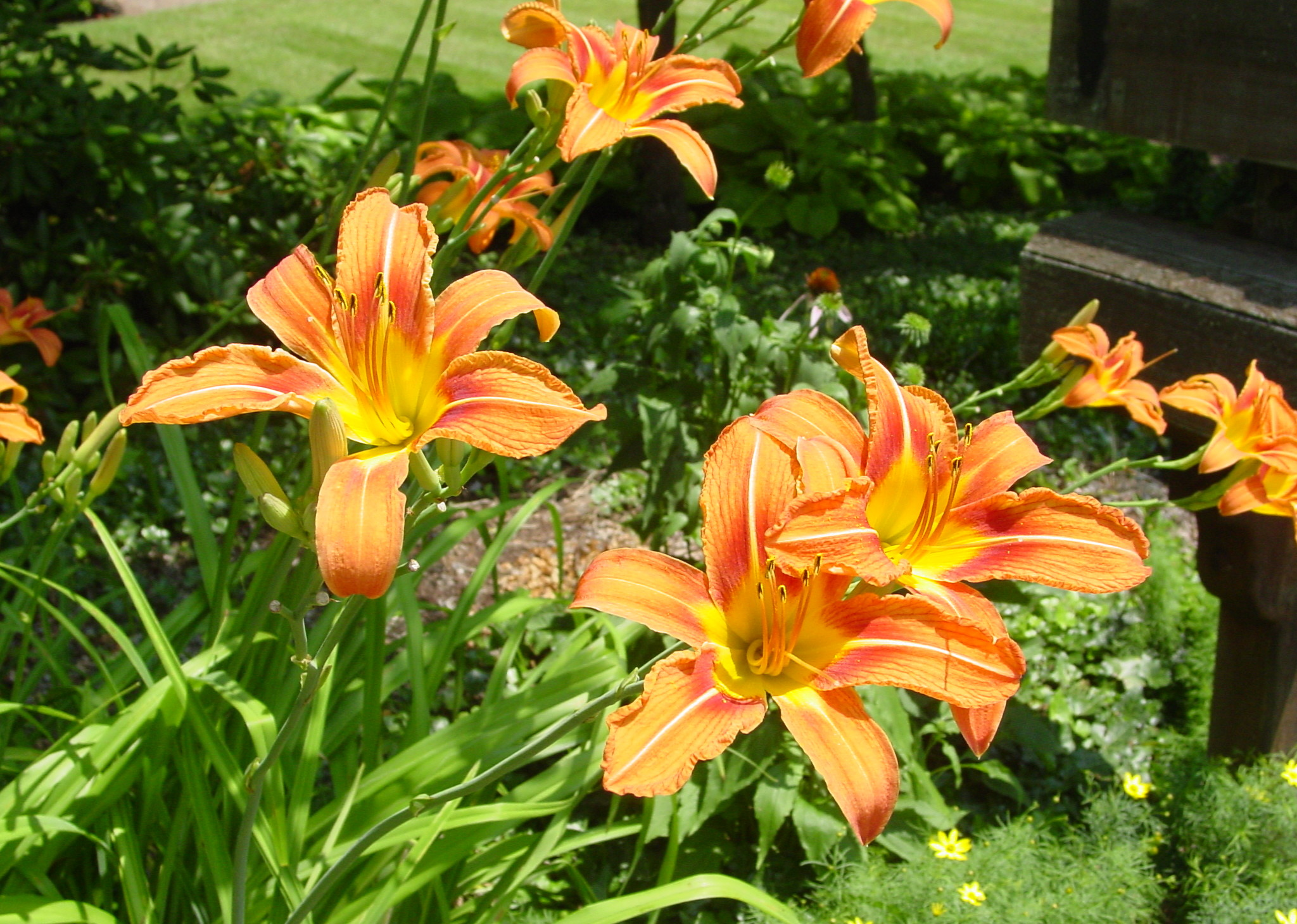 Tiger Lilies in our gardens at Brookside Mountain Mist Inn B&B
