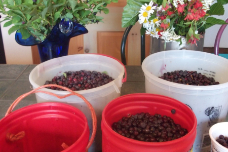Huckleberry Harvest