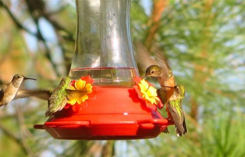 Calliope & Rufous Hummingbirds Active at Bear Spirit Lodge B&B, St. Ignatius, Montana