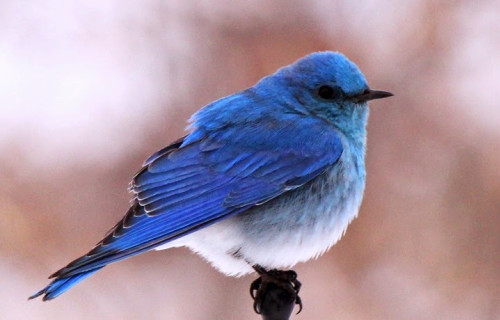 Beautiful Mountain Bluebirds near Bear Spirit Lodge B&B