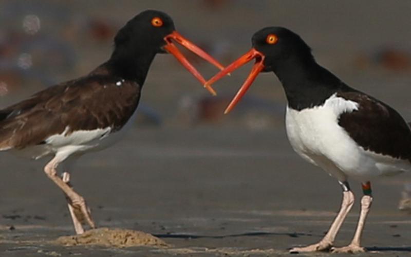 Shorebird Research