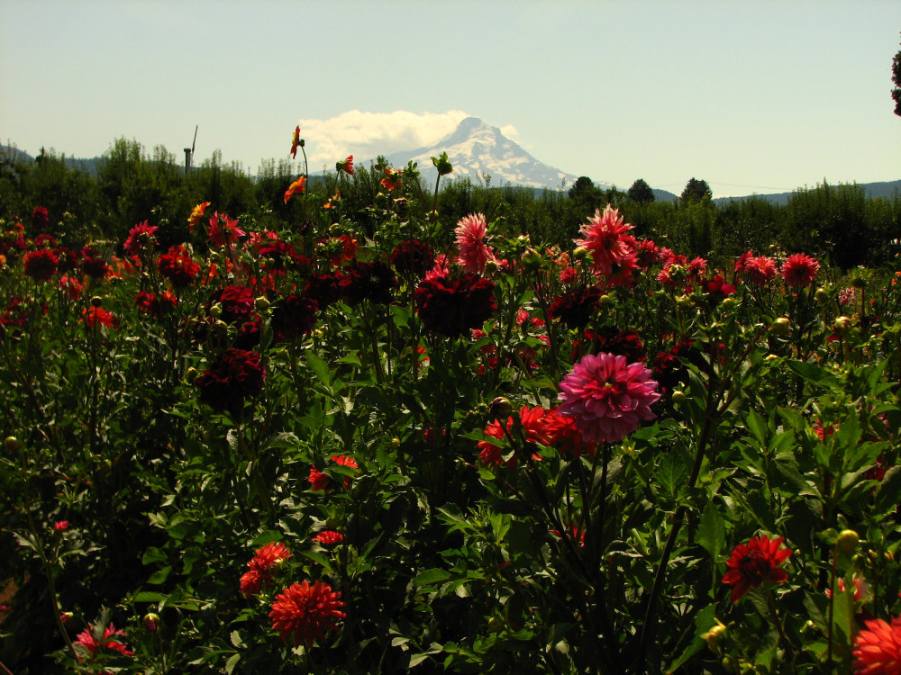Dahlias Put on a Show in the Hood River Valley