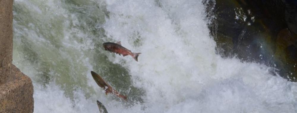 Klickitat River Salmon Spawning