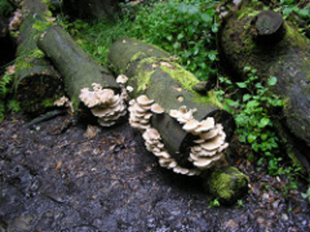 Wild Oyster Mushroom Season–Coming soon to Boreas!