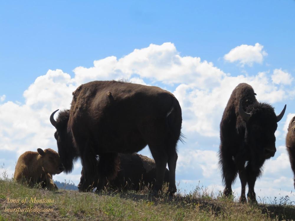 National Bison Range Wildlife & Gorgeous Vistas of Spectacular, Unspoiled Nature!