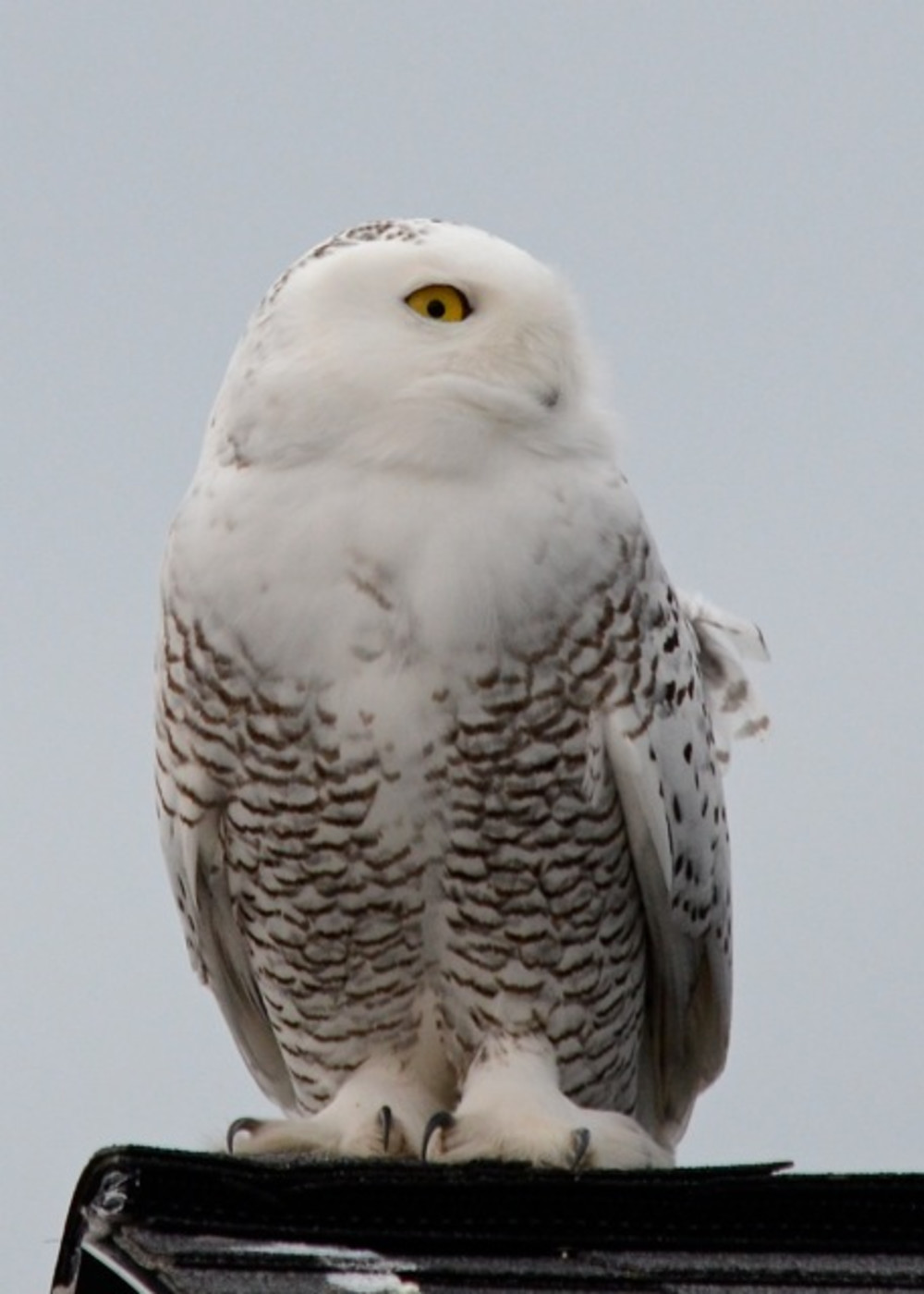 Snowy Owls near Bed & Breakfast, St. Ignatius, Montana