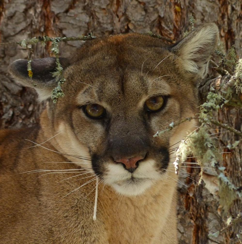 Montana Cougars of Western Montana