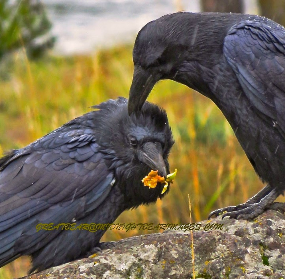 The Softer Side of Ravens near Bear Spirit Lodge Bed & Breakfast