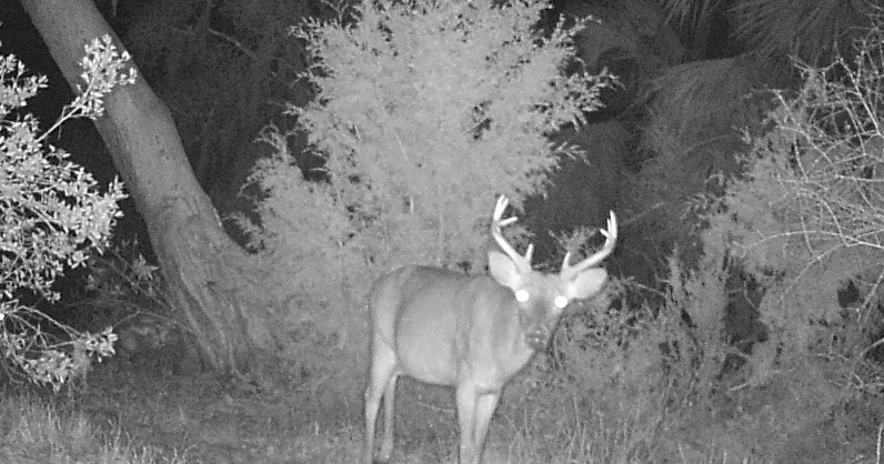 The Return of the White-tailed Deer