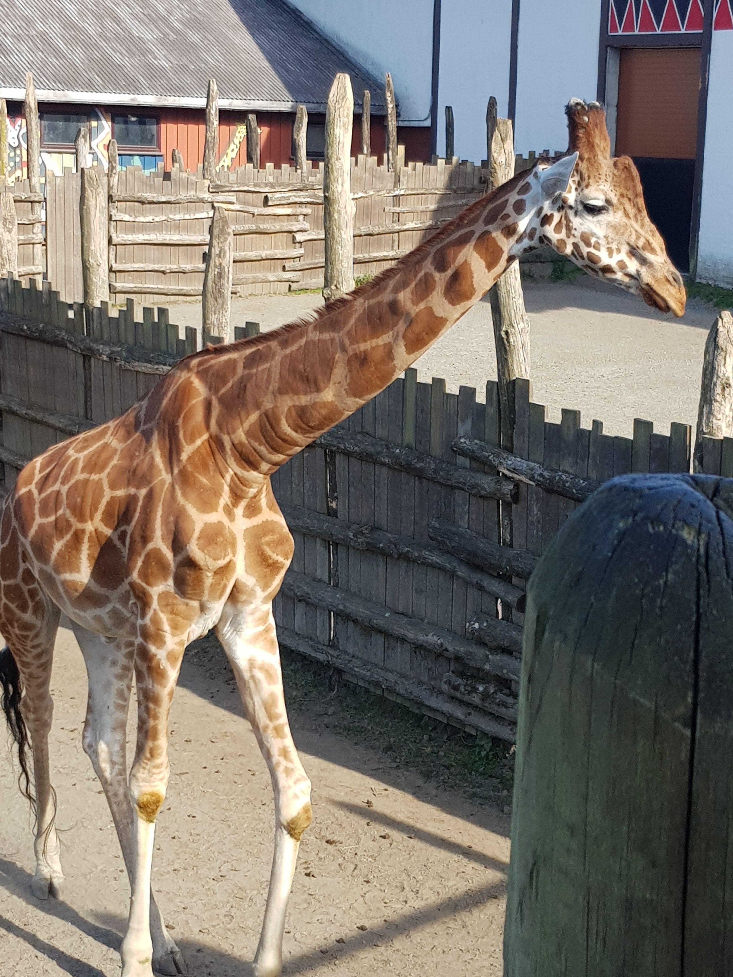 Norsk Giraff