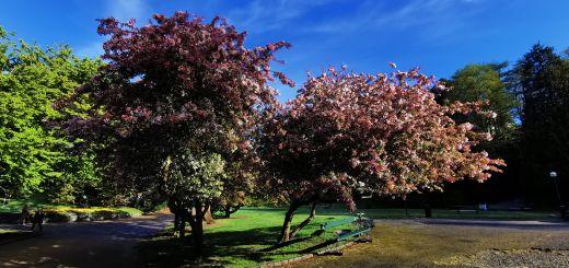 bilde av tre med blomster på i nygårdsparken
