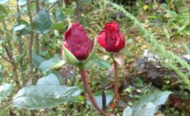 Optimistic roses|Optimistiske roser
