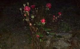 November roses|November-roser
