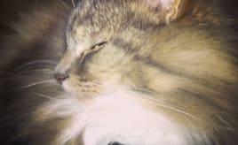 Meditating cat - Rolf|Mediterende Rolf