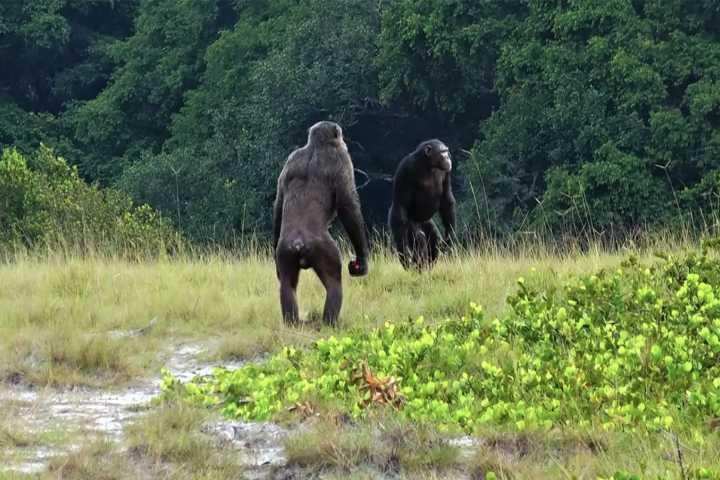 Giới khoa học sốc lần đầu chứng kiến tinh tinh dàn trận tiêu diệt khỉ đột