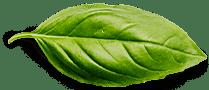 basil leaf 4204db0d8