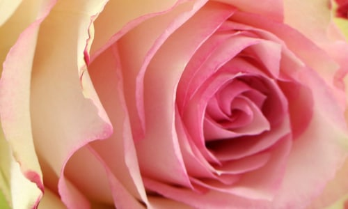 What makes a luxury rose?