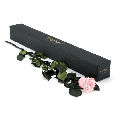 Statement Rose - Delivered Across Dubai - OnlyRoses