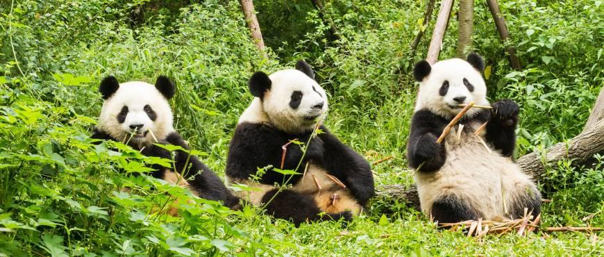 Leyendas de China + Voluntariado con Osos Panda