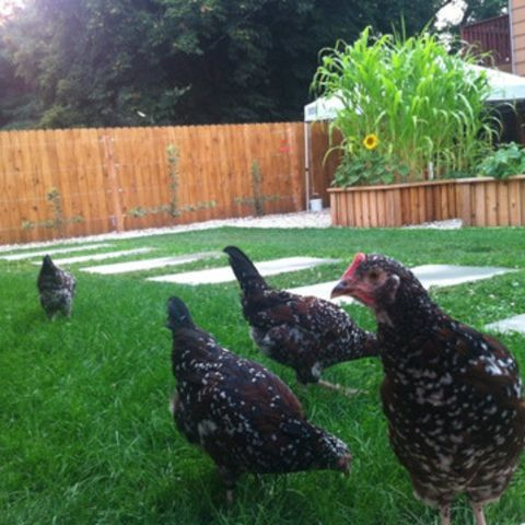 1460753117941_chickens on the eco lawn.jpeg