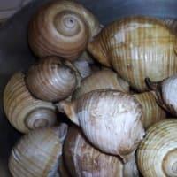 Lumache di mare step 1