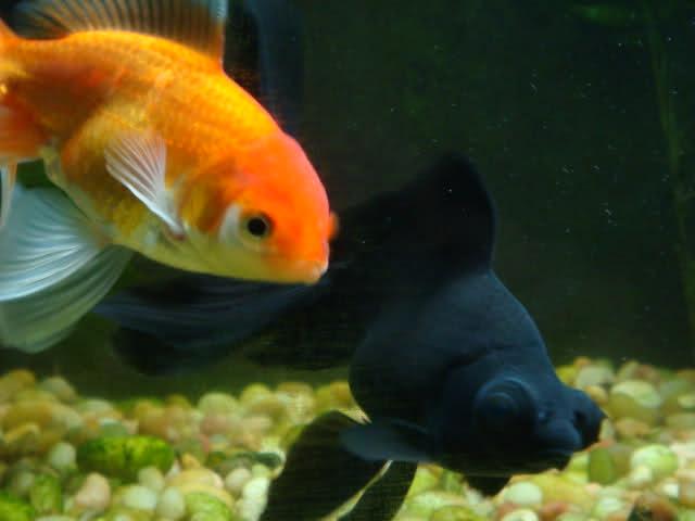 goldfish info