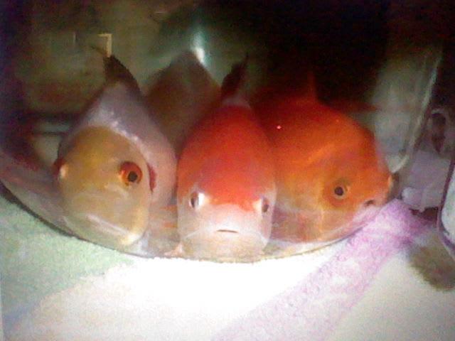 goldfish bottom sitting