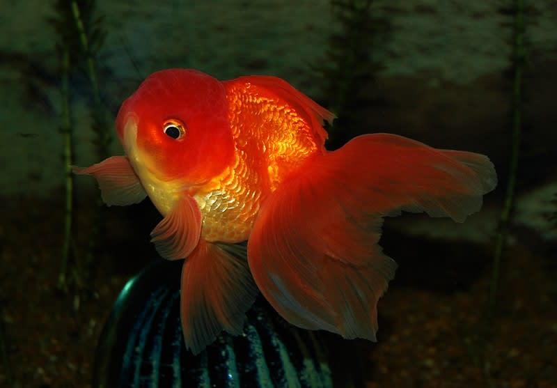 through the eyes of a goldfish