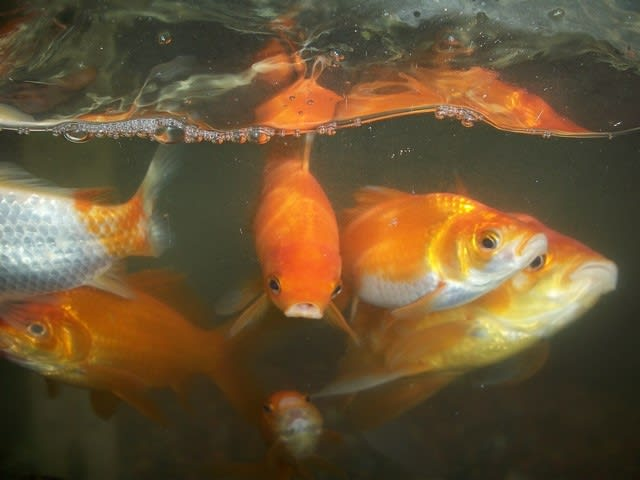 feeding goldfish koi