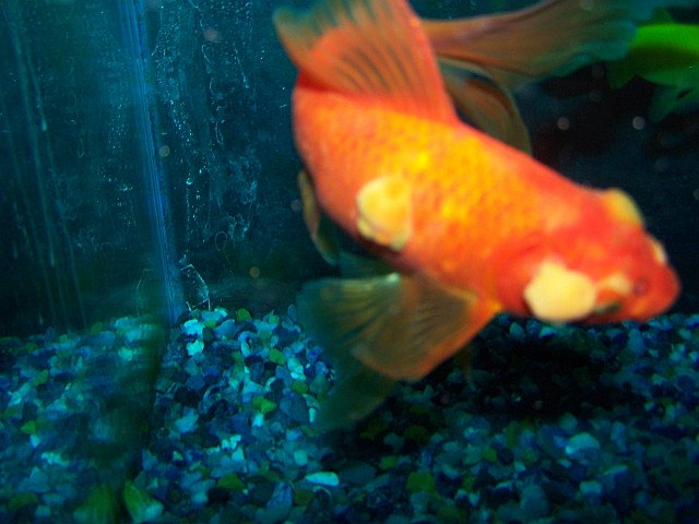 diagnose goldfish symptoms
