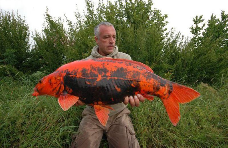 LIfespan goldfish Koi