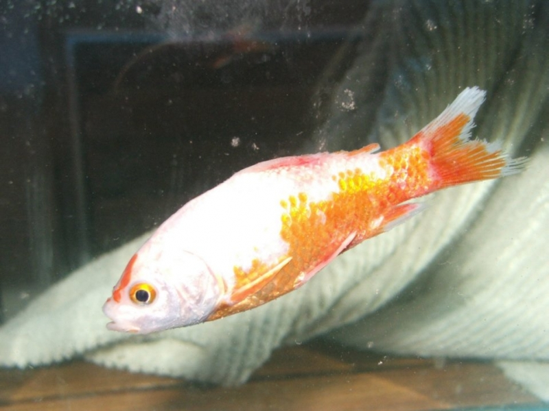 goldfish turning white