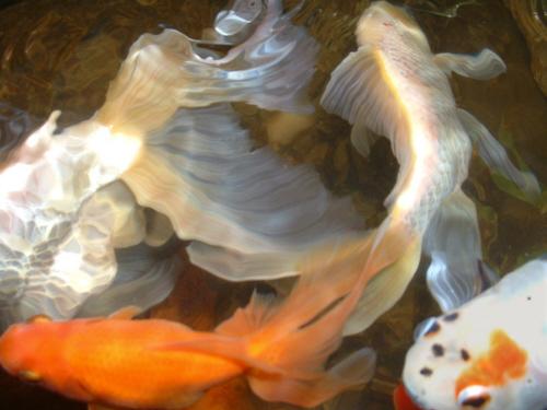 art of goldfish