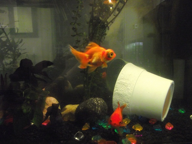 goldfish behavior