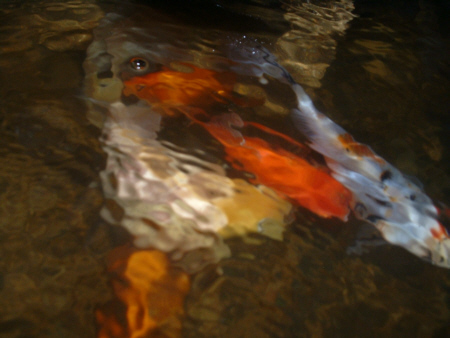 Breeding goldfish and koi