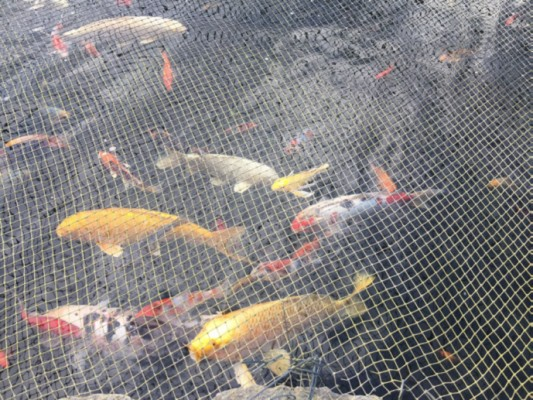 goldfish koi ponds